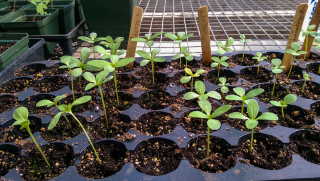 Seeds started in byfield
